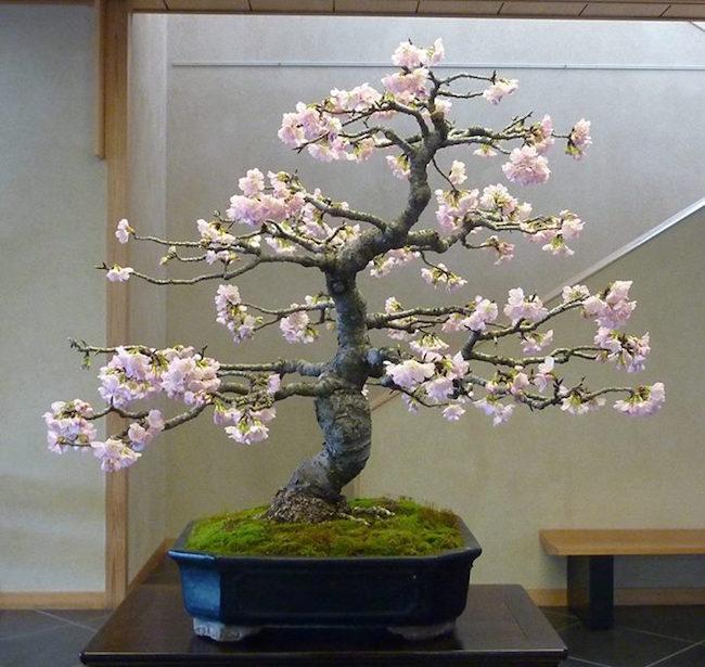 桜の盆栽 盆栽エンパイア