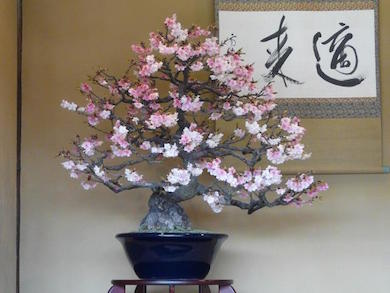 A wonderful Cherry blossom Bonsai in full bloom