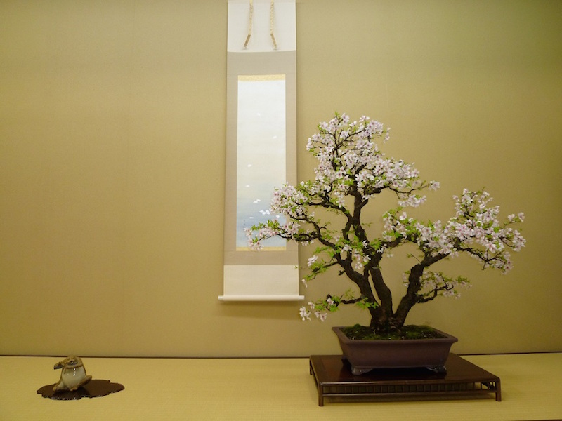 Cherry blossom Bonsai around April.
