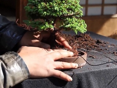 Repotting the bonsai
